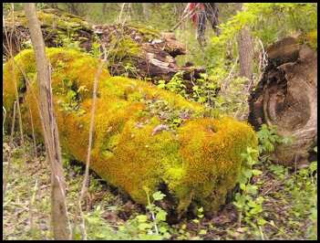 Moss covered log at Whitnall Park; Hales Corners, WI.