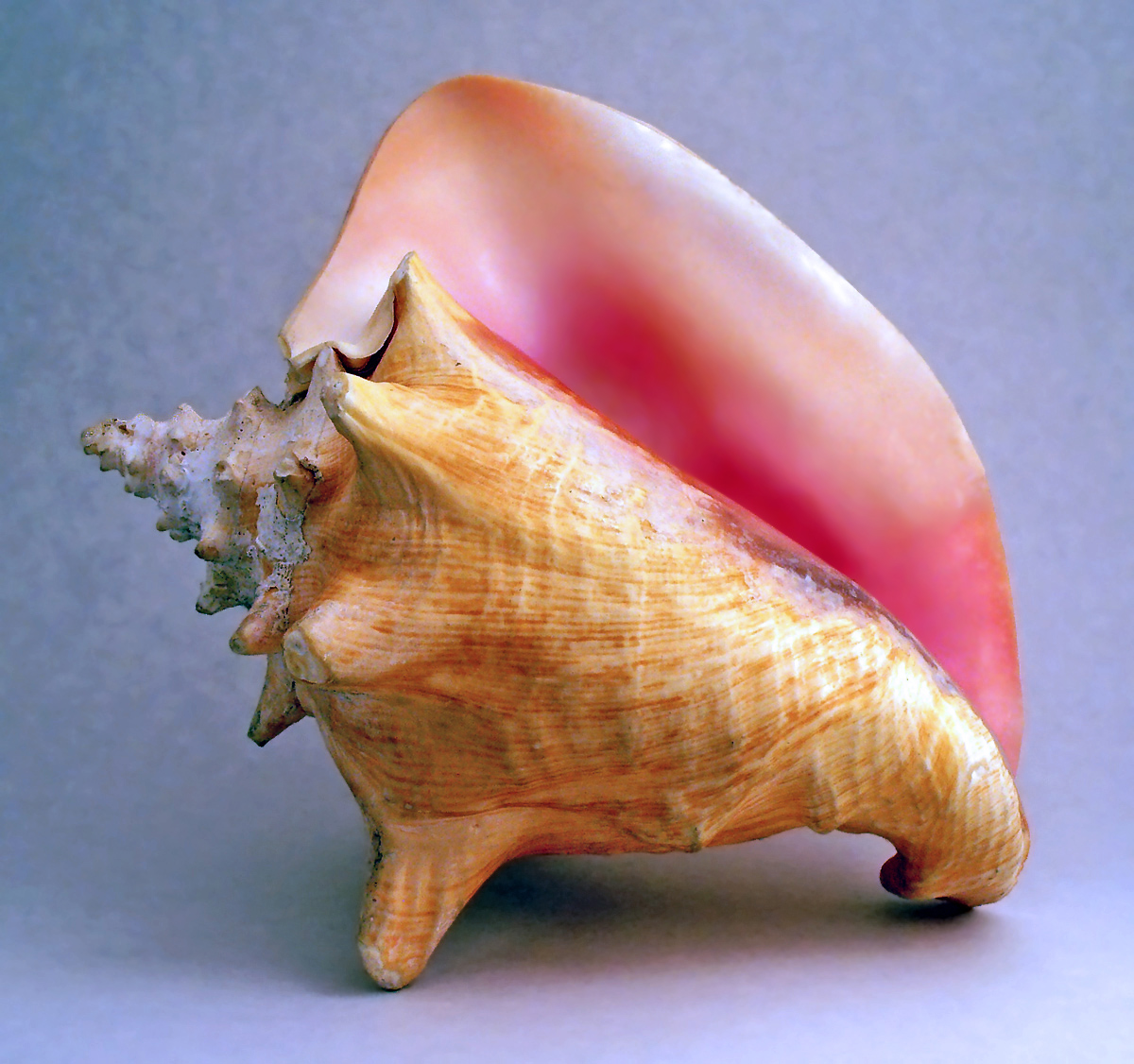 A conch shell. Scungilli in Italian.